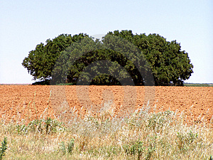 Clump of Trees Royalty Free Stock Image