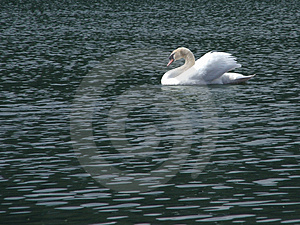 King Of The Lake Stock Photography