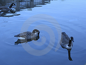 Geese In Water Free Stock Images