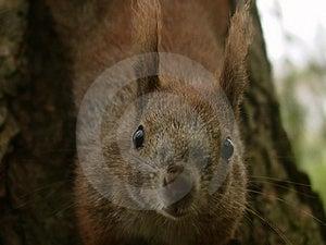 Eekhoorn #5 Stock Afbeeldingen