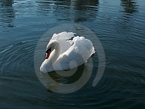 Swan Free Stock Photography