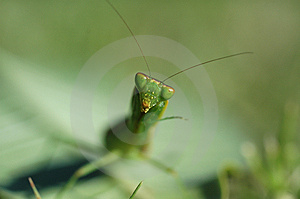 Preying Mantis Head Free Stock Photography