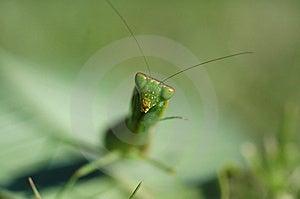 Κεφάλι mantis Preying Στοκ φωτογραφία με δικαίωμα ελεύθερης χρήσης