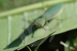 Κοίταγμα mantis Preying Στοκ φωτογραφίες με δικαίωμα ελεύθερης χρήσης