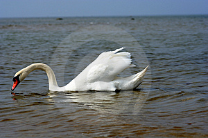Swan At The Beach. Free Stock Images