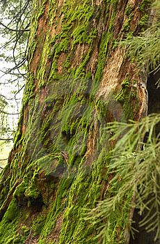 Sequoia Trunk Covered With Moss Free Stock Image