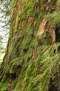 Mammutbaum-Stamm bedeckt mit Moos Lizenzfreies Stockbild