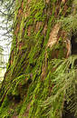 Sequoia Trunk covered with Moss