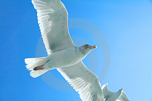 Seagull Closeup Royalty Free Stock Image - Image: 1204576