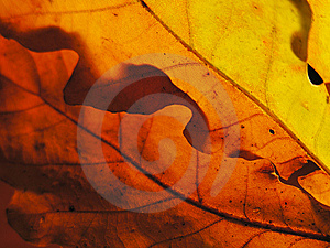 Autumn Palette With Sun Through Oak Leaves Royalty Free Stock Images - Image: 12020729