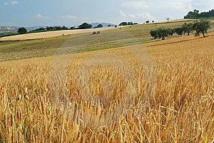 Cornfield Royalty Free Stock Image - Image: 12296396