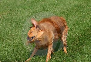 Wet Dog Royalty Free Stock Photos - Image: 1244378