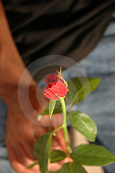 Rose For You Royalty Free Stock Photo - Image: 1248455