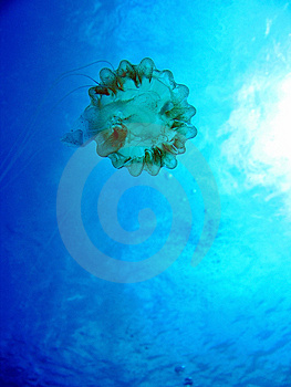 Jellyfish Near The Surface Royalty Free Stock Photography - Image: 1249867