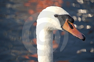 Swan Waiting For The Partner Stock Photos - Image: 1255353
