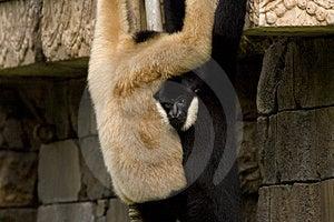 Monkeys II Stock Photo - Image: 1260380
