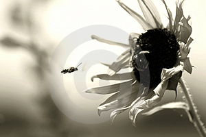 Busy Bee Royalty Free Stock Photo - Image: 1268625