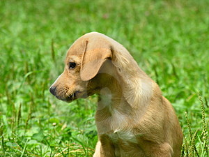 Yellow puppy Free Stock Photos