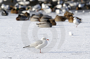 Seagull On Frozen Water In Winter Stock Images - Image: 12709734