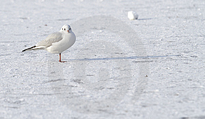 Seagull On Frozen Water In Winter Stock Image - Image: 12709821
