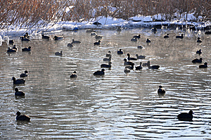 Black Ducks On Lake In Wintertime Royalty Free Stock Photo - Image: 12719035