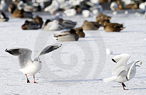 Seagulls On Frozen Water In Winter Free Stock Photos