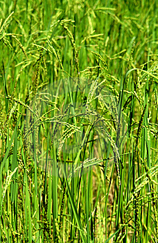 Green Rice Field Texture Wallpaper Stock Photo - Image: 12790450