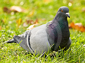 Pigeon Portrait Royalty Free Stock Image - Image: 12806836