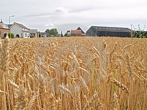 Wheat Before Harvest Royalty Free Stock Photo - Image: 1299275