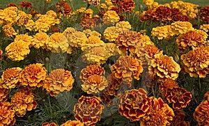 Orange Roses In Bloom Royalty Free Stock Image - Image: 12975146
