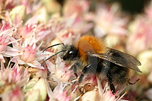 Bumblebee On Sedum Stock Photos