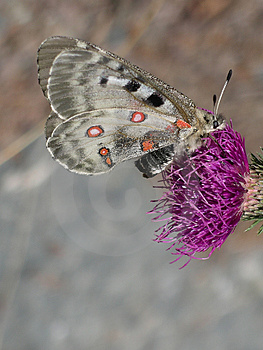 Butterfly on flower Royalty Free Stock Photo