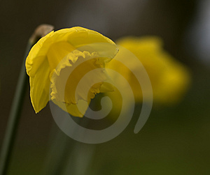 Daffodil Free Stock Images