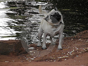 Wet Pug Stock Photography