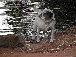 Wet pug Stock Photography