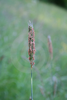 Blade Of Grass Free Stock Images
