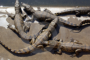 Crocodile 06 Free Stock Image