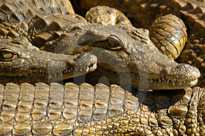 Crocodilo 07 Foto de Stock Royalty Free