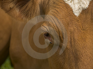 Cows Head Close Up Stock Photos