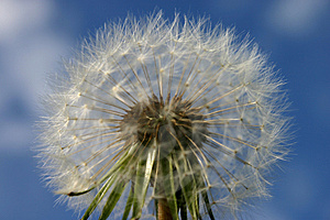 Dandelion Seedhead Stock Photos