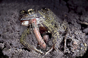 Common Frog Eating An Earth Wom Stock Photography