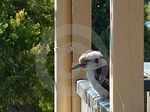Kookaburra Стоковые Фото