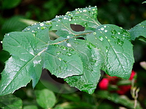 Rain Leaf Free Stock Photo