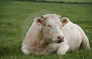 Cow Free Stock Photography