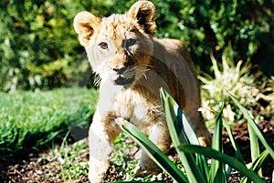 Lion Cub 01 Image libre de droits