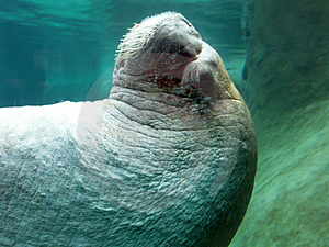 Close-up Walrus Royalty Free Stock Photo