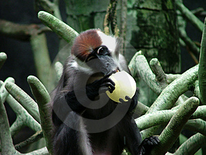 黑猩猩咬住 免版税库存图片