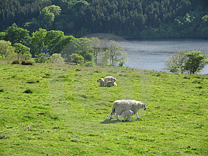 Sheep in the country