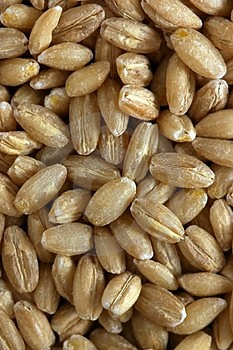 Pine Nuts. Stock Image