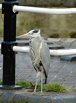Common Grey Heron Free Stock Image